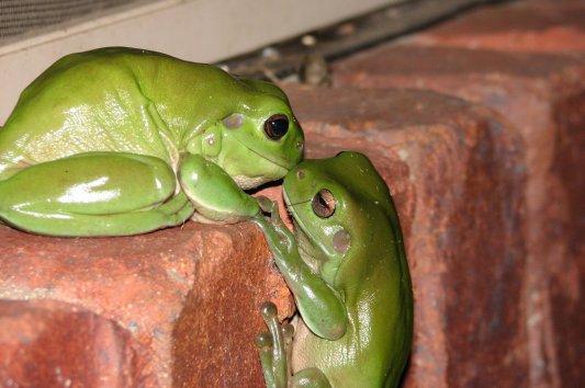 Frog Wedding