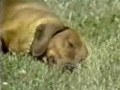 Rusty, the narcoleptic daschund