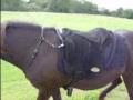 Icelandic Horse, bareback pad