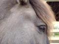 Icelandic Horse snort