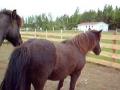 Sleepy Icelandic Horse