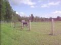 Icelandic Horse trot