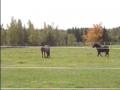 Icelandic Ponies Meet Puppy