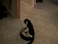 Kitty Driving Roomba Vac
